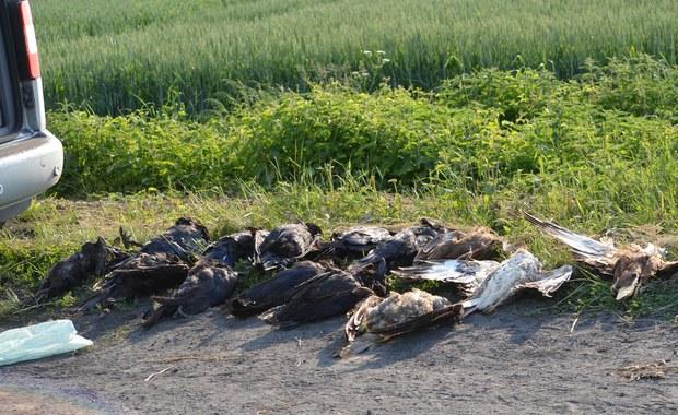 Wielkopolska: Kilkadziesiąt martwych ptaków na polu. Prawdopodobnie zostały otrute