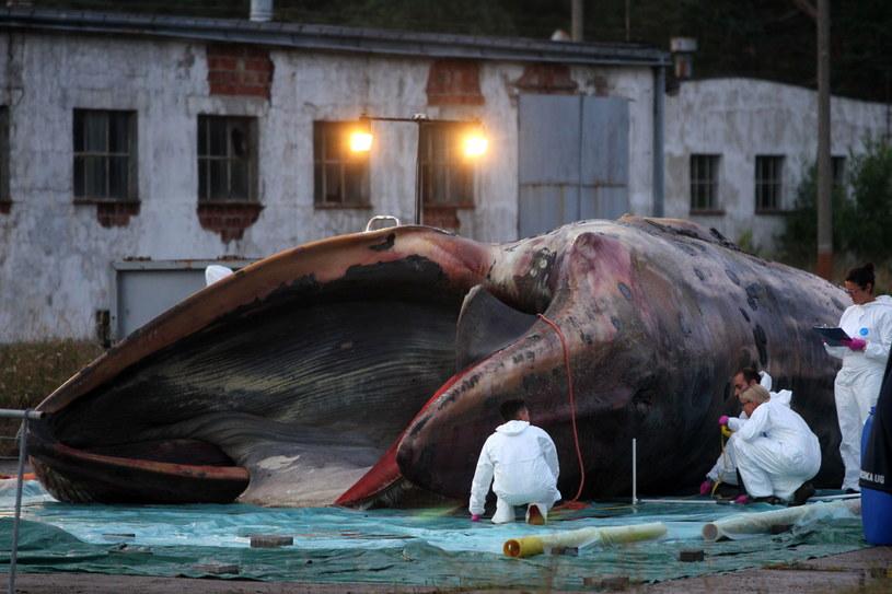 Wieloryb ze Stegny to młody finwal /Piotr Wittman /PAP