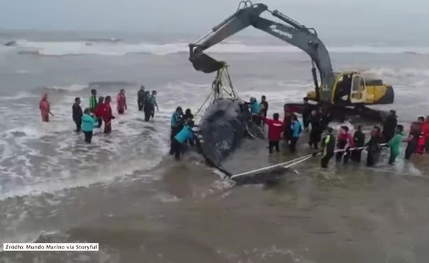 Wielorybowi na ratunek. W akcji dźwig i koparka