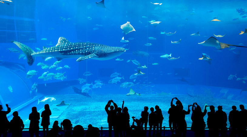 Wielu twierdzi, że Churaumi Suizokukan to najlepsze akwarium w całej Japonii. Na pewno jest najważniejszą atrakcją parku Ocean Expo leżącego na północnym krańcu wyspy /123RF/PICSEL