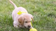 Wiesz, co oznacza żółta wstążka przy psiej smyczy?