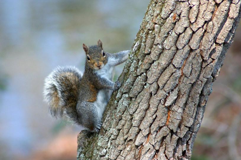 Wiewiórka szara /Wikimedia