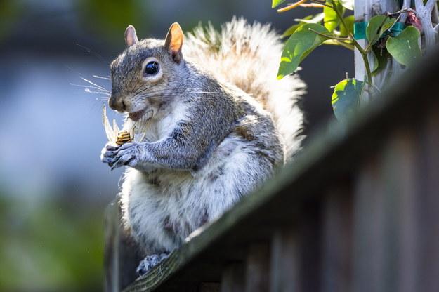 Wiewiórka z cykadą w Waszyngtonie /JIM LO SCALZO /PAP/EPA