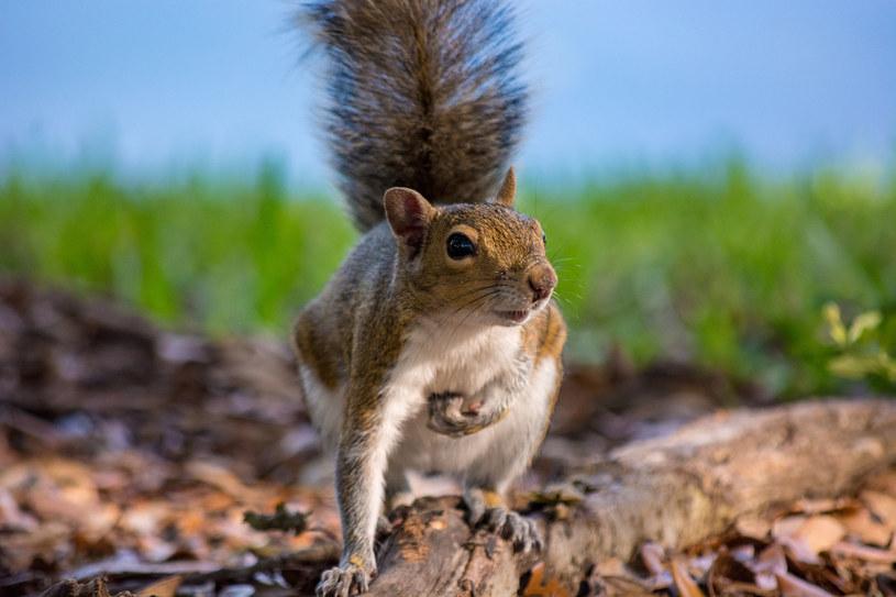 Wiewiórka znienacka rzuca się na ludzi i gryzie ich po rękach (zdjęcie ilustracyjne) /123RF/PICSEL
