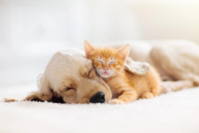 Wilcze pazury u psów i kotów to spuścizna po dzikich przodkach /123RF/PICSEL