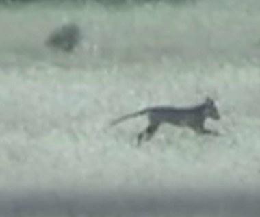 Wilk tasmański wcale nie wymarł? Są dowody?