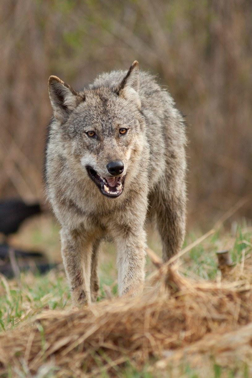 Wilk w Bieszczadach /Adrian Slazok/REPORTER /Reporter
