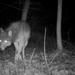 Wilk wszedł na prywatną posesję w Poznaniu. Co się dzieje?