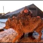 Wilk zaatakował gospodarstwo. Rolnik zabił go gołymi rękami