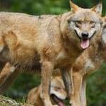 """Wilki atakują na Warmii i Mazurach. """"Młode przyuczają się do polowania"""""""