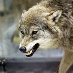 Wilki coraz częściej pojawiają się wśród ludzi. Co je przyciąga?