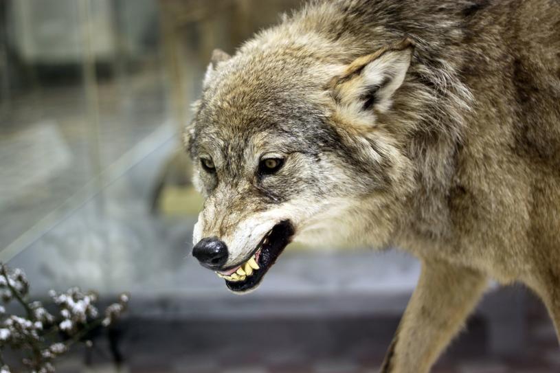 Wilki mają swoje sposoby, by upolować zwierzynę. /123RF/PICSEL