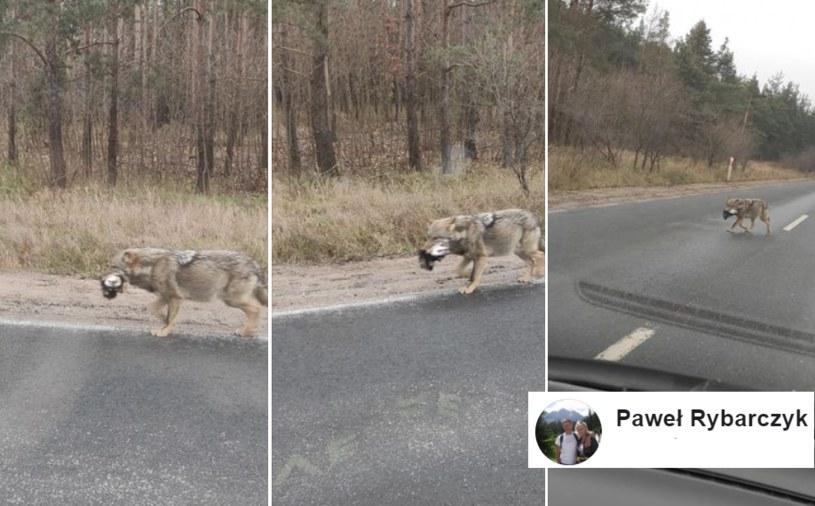 """""""Wilki od zawsze polują na psy"""" /facebook.com"""
