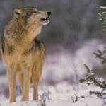 Wilki w czarnobylskiej zonie mają się dobrze