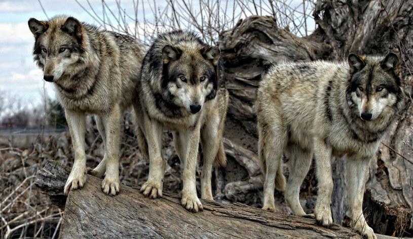 Wilki z Kolumbii Brytyjskiej nauczyły się polować na łososie /123RF/PICSEL