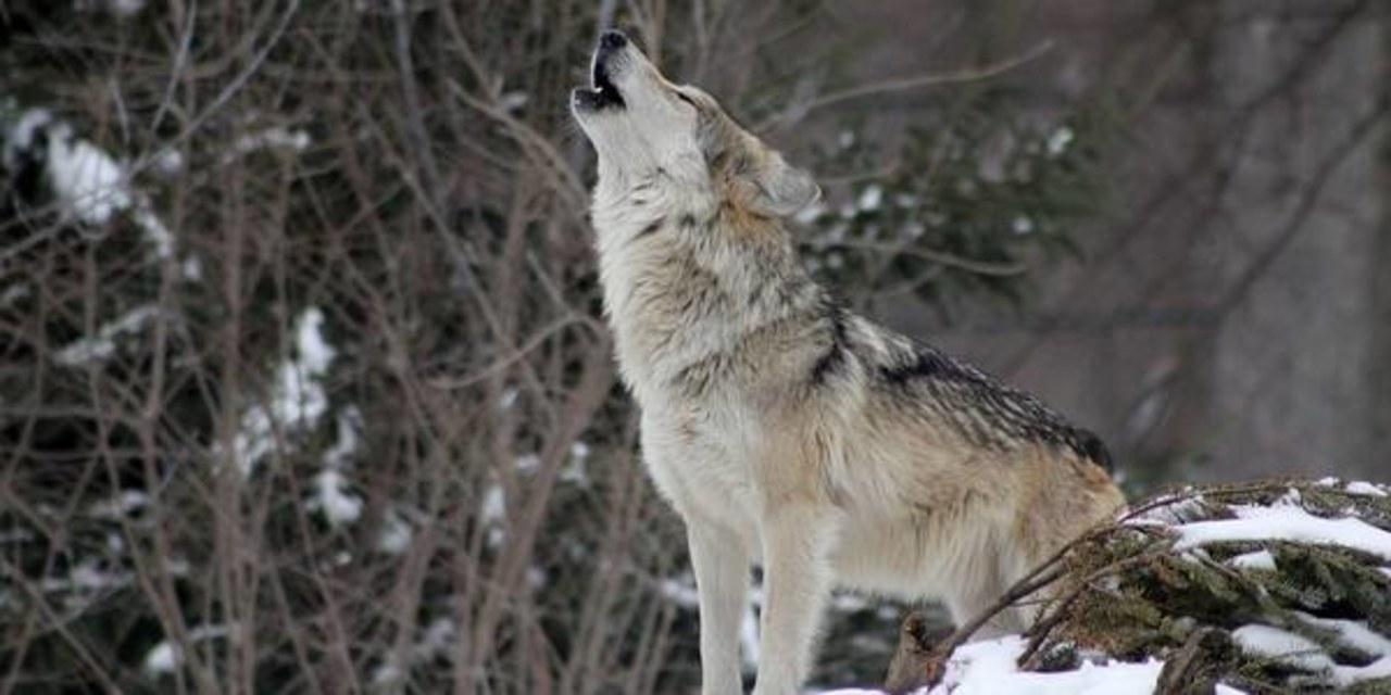 Wilki zaatakowały w lesie robotników. Obronili się piłami spalinowymi