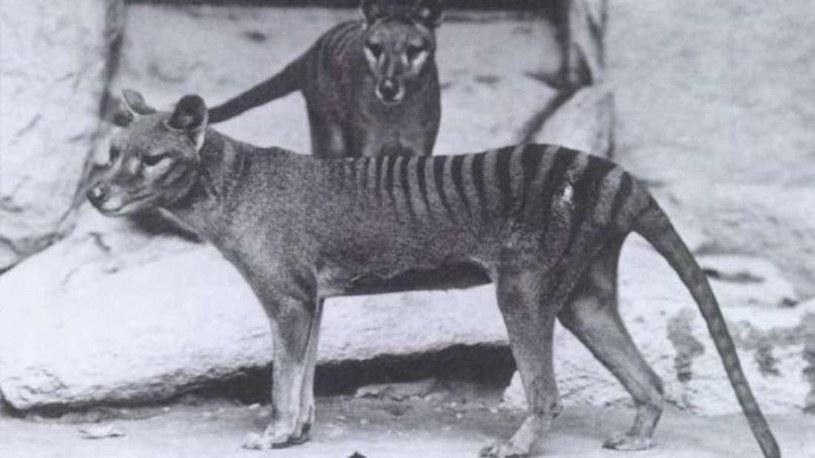 Wilkowór tasmański zostanie przywrócony do życia? Zdjęcie: Smithsonian Institution /materiały prasowe