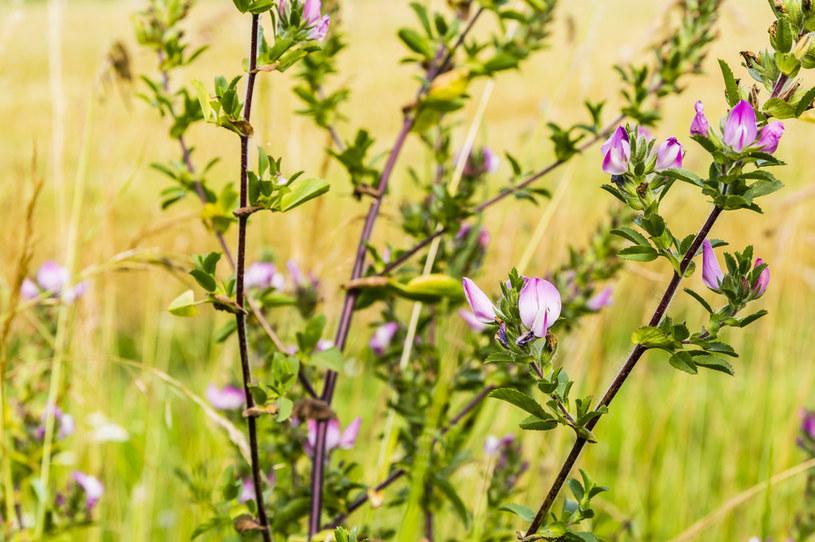 Wilżyna ciernista ma charakterystyczne, różowe kwiaty /123RF/PICSEL