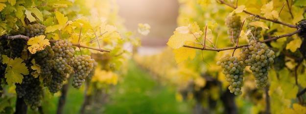 Winiarze skorzystali z mroźnej pogody - robią lodowe wino /©123RF/PICSEL