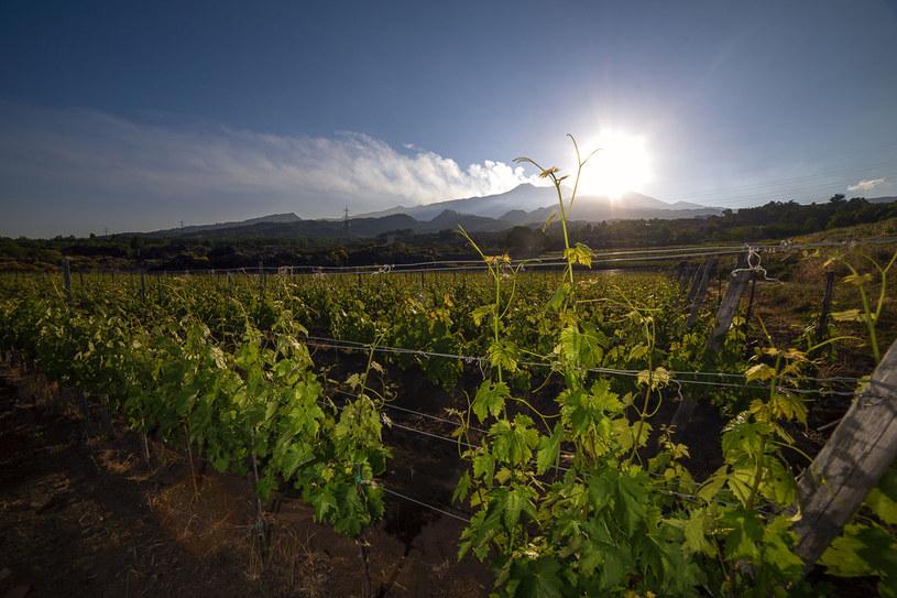 Winnica u stóp Etny /123RF/PICSEL