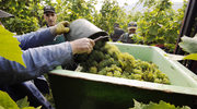 Winnice w Bernkastel–Kues