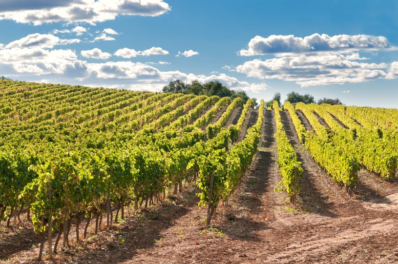 Winnice w Katalonii /123RF/PICSEL