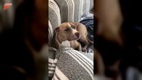 Winny pies ignoruje swoją panią. Przezabawne