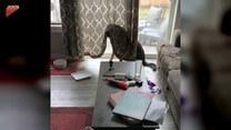 Winny pies schował się za zasłoną. Co przeskrobał?