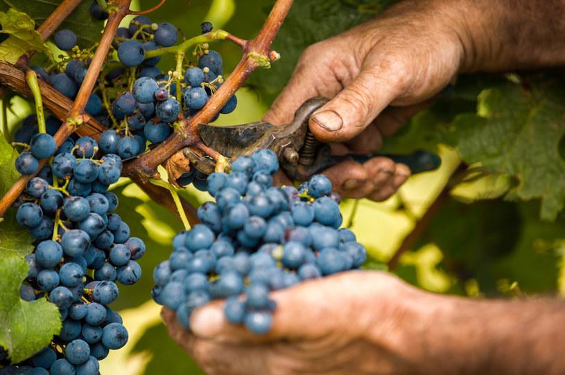 Winogrona są jednymi z najsłodszych owoców /123RF/PICSEL