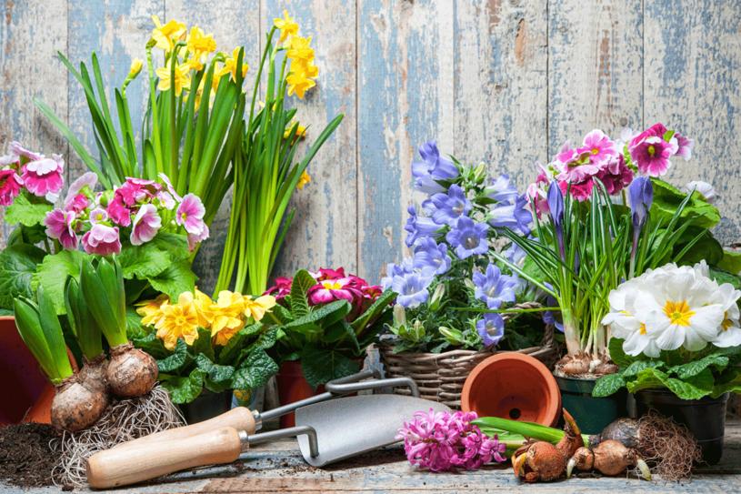 Wiosenne kwiaty to wspaniala dekoracja światecznego stołu /123RF/PICSEL