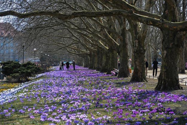 Wiosna rozkręca się na dobre. Krokusy zakwitły w Szczecinie /fot. Dariusz Gojarski /Agencja FORUM