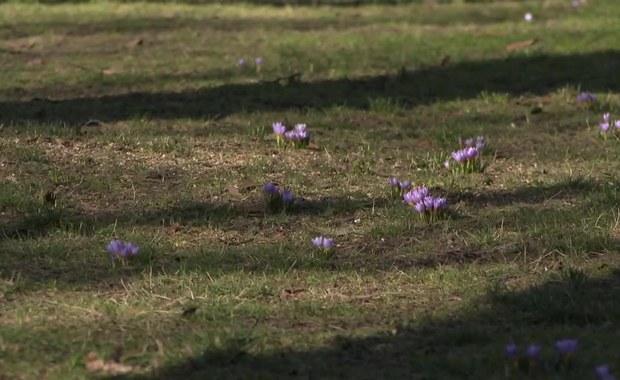 Wiosna tuż tuż. W Szczecinie zakwitły krokusy