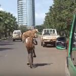 Wiózł ze sobą dwie owce… na rowerze!