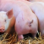 Wirus ASF zapowiada koniec z polskim schabowym