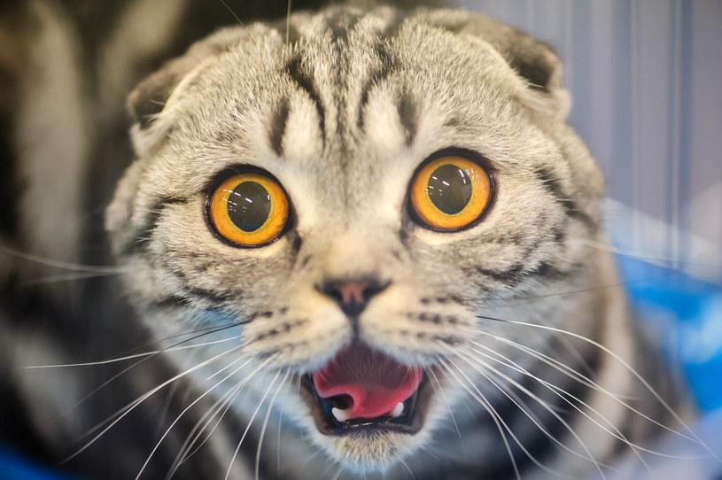 Wirus grypy może zostać przeniesiony z kota na człowieka /123RF/PICSEL
