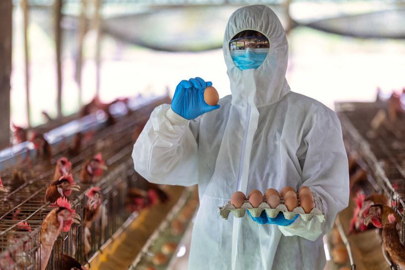 Wirus ptasiej grypy coraz większym zagrożeniem dla hodowców /123RF/PICSEL