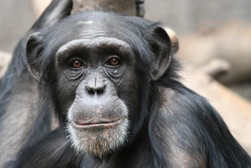 Wirusa HIV - a raczej jego protoplastę, SIV - przekazały nam szympansy /123RF/PICSEL