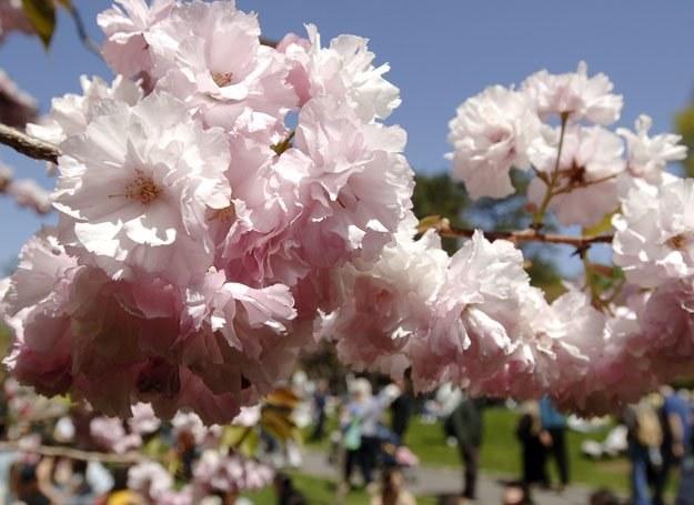 Wiśnia japońska - odmiana Kanzan /AFP