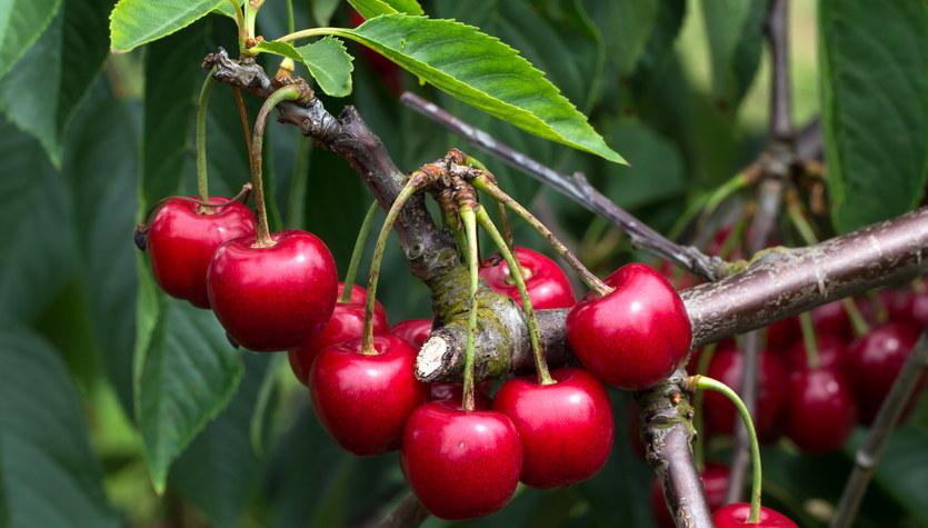 Wiśnie: Owoce dobre dla sercowców