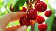 Wiśnie są bardzo lubiane przez nasze stawy