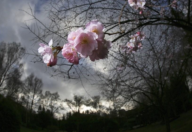 Wiśnie zakwitły między innymi w Niemczech /PAP/EPA
