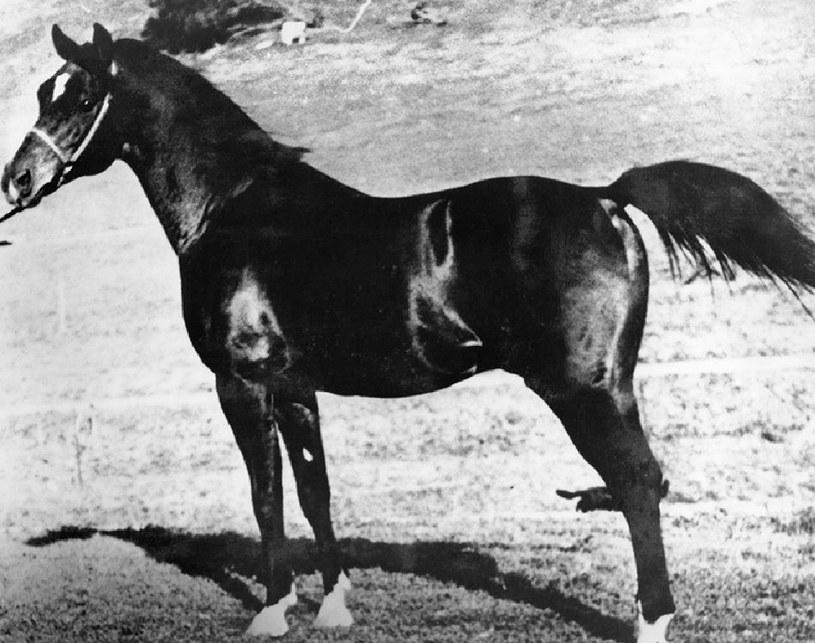 Witeź - koń, o którego toczyła się wielka gra /International Museum of Horse /INTERIA.PL/materiały prasowe