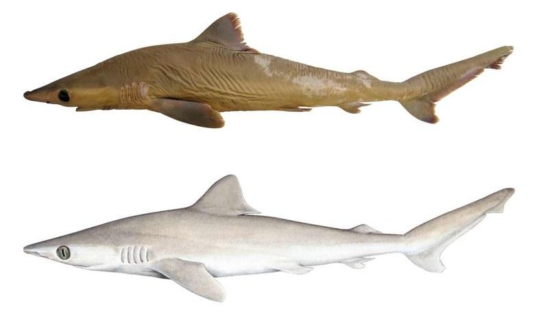 Wizja artystyczna nowo odkrytego gatunku rekina na podstawie pozostałych szczątków /materiały prasowe