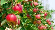 Włączmy jabłka do diety i... nie chorujmy!