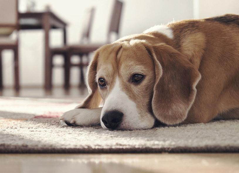 Właściciele zwierząt wiedząc, że sierść ich podopiecznych może spędzać sen z powiek /123RF/PICSEL
