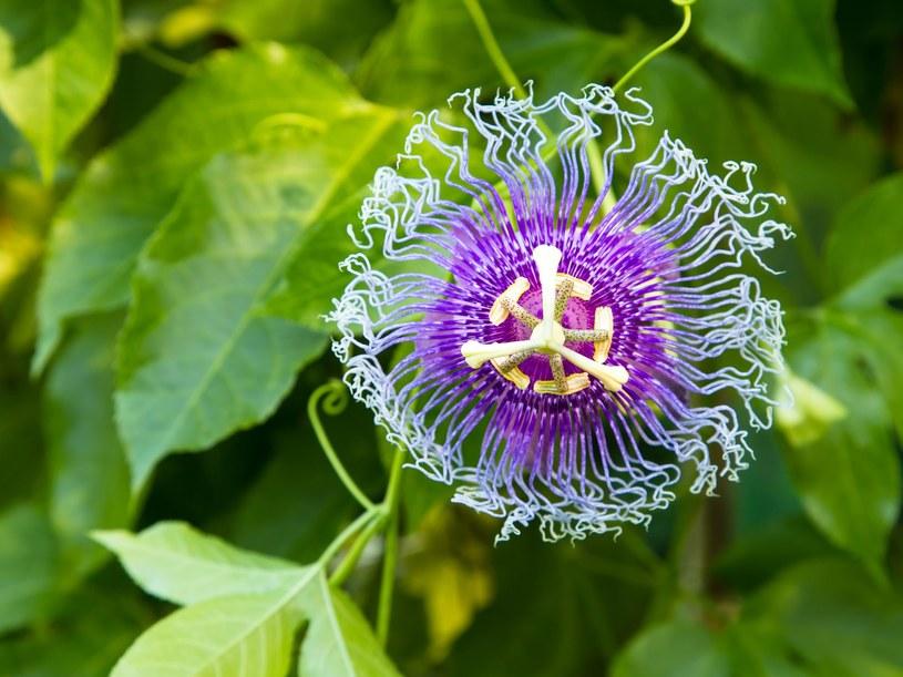 Właściwości kwiatu męczennicy są niezwykłe! /123RF/PICSEL