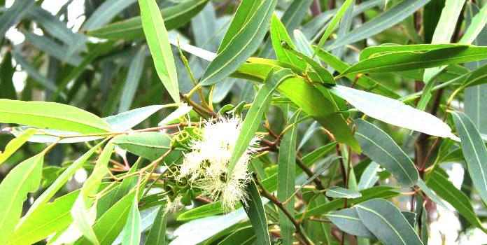 Właściwości olejku eukaliptusowego /© Photogenica