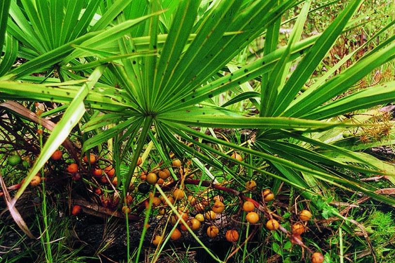 Właściwości palmy sabałowej /© Photogenica