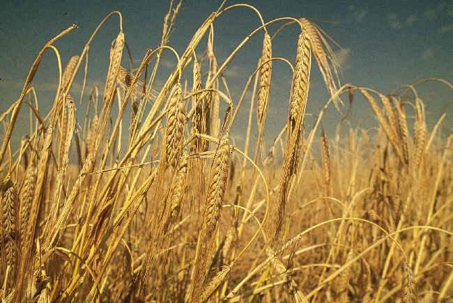 Właściwości zbóż /© Photogenica
