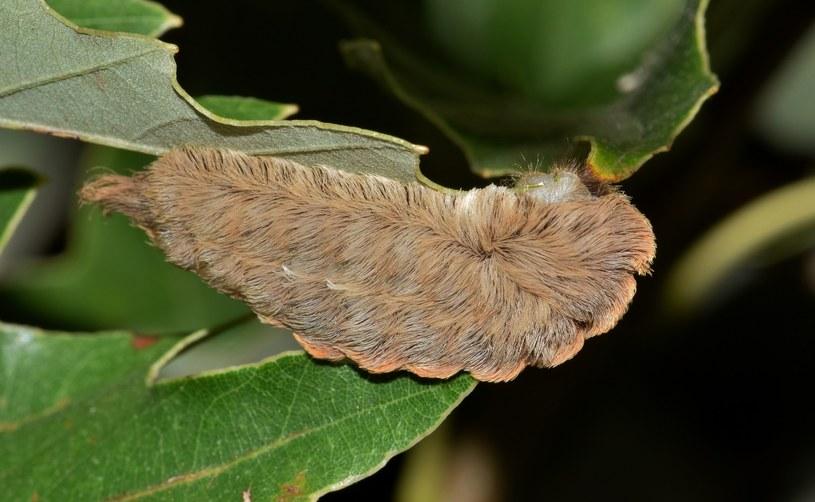 Włochate gąsienice nie są agresywne, ale nie powinno się do nich zbliżać nawet na krok! /domena publiczna